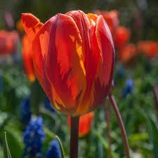 tulip bulbs item 1616 prinses irene for sale