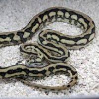 Coastal Carpet Python Facts by Coastal Carpet Python Information Thesecretconsul Com