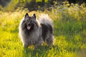 Dogs That Dont Shed Keeshond by 16 Best Dogs For Families With Kids For The Safety Of Kids And Pets