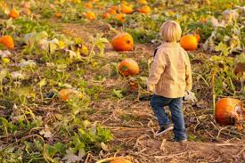 Bishops Pumpkin Patch Wheatland Ca by Pumpkin Patch What Makes Us Click