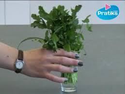 cuisine coriandre cuisine comment conserver la coriandre fraîche pratiks
