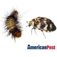 Do Carpet Beetle Bite by Do It Yourself Carpet Beetle Control