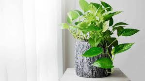 luftreinigende pflanzen die 10 besten luftreiniger