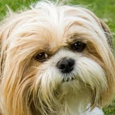 Quiet Small Non Shedding Dog Breeds by Small Dog Breeds That Don T Shed Or Grow Dog Breed Gallery