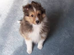 Sheltie Shedding In Winter by Collies Puppies Mahagony Sable And White Rough Collie Puppy