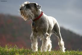 Do Giant Schnauzer Dogs Shed Hair by Miniature Schnauzer Pictures Information Temperament