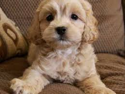 Do F2 Cockapoos Shed by Best 25 Cockapoo Puppies Ideas On Pinterest Cavapoo Puppies