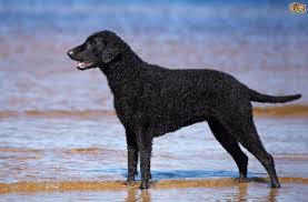 Dogs That Shed Minimally by Curly Coated Retriever Or Portuguese Water Dog Which Breed Makes