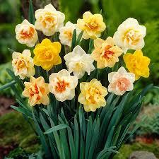 daffodil bulbs for sale buy flower bulbs in bulk save