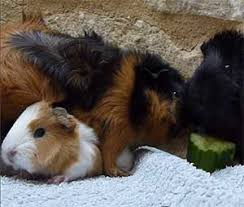 Pine Bedding For Guinea Pigs by Guinea Pig Bedding Abyssinian Guinea Pig Tips