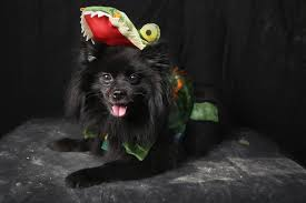 Tompkins Square Park Halloween Dog Parade 2016 by 41 Hilarious Pictures Of Howl O Ween Dogs Today Com