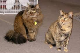 Do Maine Coons Shed In The Summer by How To Tell If A Cat Is A Maine Coon Mainecoon Org