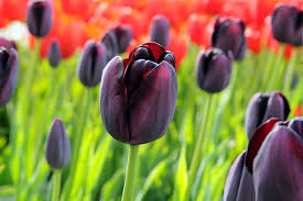 how to plant tulip bulbs 18 world flowers