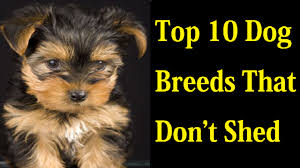 Dog Breeds That Dont Shed by Top 10 Dog Breeds That Don U0027t Shed Youtube