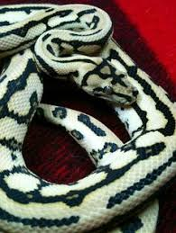Coastal Carpet Python Facts by 14 Species Of Boas And Pythons Amazing Constricting Snakes