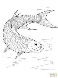 Betta Fish Coloring Sheets Click Tarpon Pages Full Size