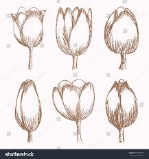 Stages Of Pumpkin Growth by Hand Drawn Tulips Different Stages Growth Stock Vector 273758576
