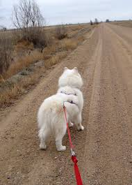 Do Samoyeds Shed All The Time by Abakan Journal Abakan Samoyeds