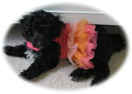 Lhasa Apso Poodle Mix Shedding by Home Florida Designer Puppies