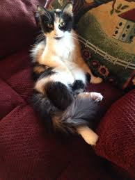 Do Maine Coons Shed In The Summer by Our Longhaired Kitten Went Crewcut Can You Pls Explain The Cat