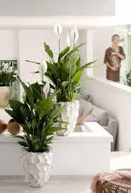 einblatt zwei schöne weiße töpfe hier im wohnzimmer hohe