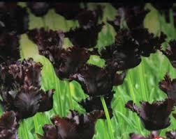 black parrot tulip 6 bulbs black cherry color