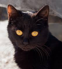bombay cats get to the bombay a mini panther with a charming nature