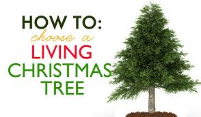 Potted Christmas Tree by How To Choose A Living Tree To Replant After Christmas Inhabitat