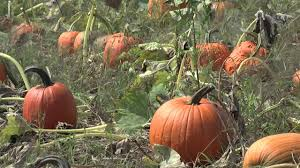 Keep My Pumpkin From Rotting by How To Harvest And Store Pumpkins Youtube