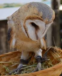 Cute Baby Barn Owl – Nature Barn Owl Facts About Owls The Rspb Bto Bird Ring Demog Blog October 2014 Chouette Effraie Lechuza Bonita Sbastien Peguillou Owl Free Image Peakpx Wikipedia Barn One Wallpaper Online Galapagos Quasarex Expeditions Hungry Project Home Facebook Free Images Nature White Night Animal Wildlife Wild Hearing Phomenal Of Nocturnal Wildlife Animal Images Imaiges