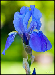 637 best Irises My very favorite flower images on Pinterest