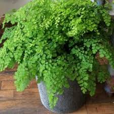 Best Pot Plant For Bathroom by 10 Indoor Plants That Help You Breathe Easy Boston Ferns Fern
