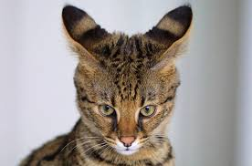 cats for top 12 most expensive cat breeds in the world vs bengal