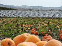 Tanaka Farms Pumpkin Patch by Tanaka Farms Pumpkin Patch Oct 21 2001