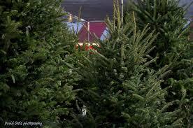 Fraser Christmas Tree Care by Hart T Tree Farms Christmas Tree Lot Plantation Florida