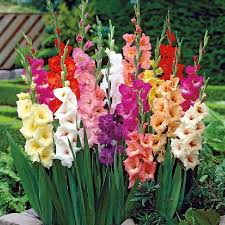 gladiolus bulbs buy flower bulbs in bulk save