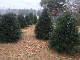 Leyland Cypress Christmas Tree by Real Christmas Trees Memories That Last Generations