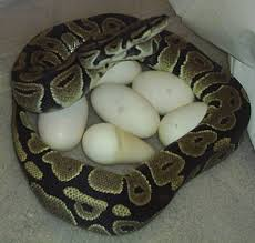 Ball Python Bedding by Ball Python Care Sheet Doug Smith