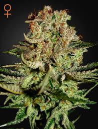 recolte cannabis exterieur date vente de graines féminisées bud de green house seeds