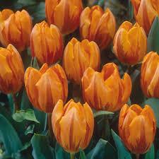 buy tulip bulbs tulip triumph bulbs for sale
