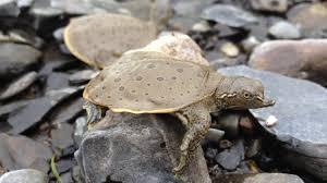 la tortue molle à épines une espèce menacée qui s accroche à la