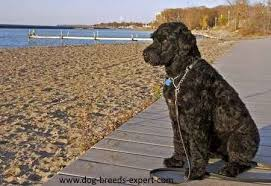 Portuguese Water Dog Non Shedding by Portuguese Water Dog