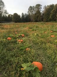 Natural Fertilizer For Pumpkins by Pumpkin Patch U2014 The Nursery At Mount Si
