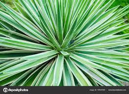 100 Natural Geometry Cactus Aloe Vera Closeup Background Concept