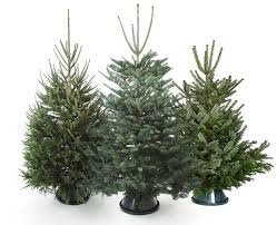 Fraser Christmas Trees Uk by Buy Real Christmas Trees For Delivery In London The Christmas Forest