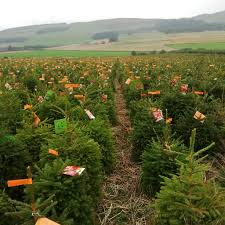 Fraser Fir Christmas Trees Uk by Bctga Open Day At Tayside Forestry The Christmas Tree Farm