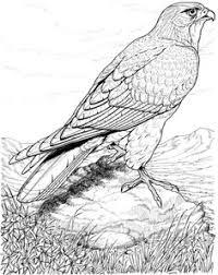 Real Life Looking Coloring Pages Of Detailed Hawk Bird For Adults