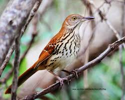Backyard Birding....and Nature: Brown Thrasher Sibleys Backyard Birds Wings And Feathers Pinterest Bird Grow These Native Plants So Your Can Feast Audubon Winter Feeding Tips For Happy And Healthy Pics Florida Wild Co Watching De My Life In A Northern Town Cedar Waxwing Birds Utah Google Search Weve Seen The Butterflies Butterflies Of New England Yok David Feeding At My Father Nature Bird Feeder Jacksonville Serenity Spell Attracting Creating Habitat For Wildlife Barn