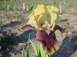 being busy bearded iris bulb 14 h yellow standards falls
