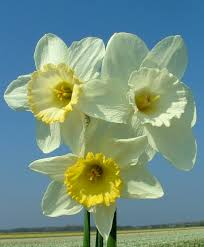 narcissus frosty snow flower bulb index